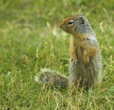 Columbian Ground Squirrel Royalty Free Stock Images
