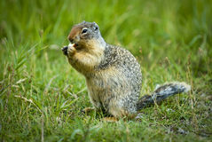 Columbian Ground Squirrel Stock Photo
