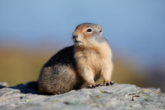 Columbian Ground Squirrel Stock Images