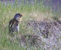 Free Columbian Ground Squirrel Stock Photo - 56383380