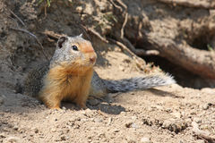 Columbian Ground Squirrel. Crouched on the ground outside its burrow Royalty Free Stock Photo