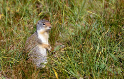 Columbian Ground Squirrel royalty free stock image