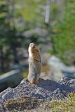 Columbian Ground Squirrel Stock Photography