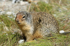 Columbian Ground Squirrel - Alberta, Canada Stock Photos