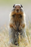 Columbian Ground Squirrel - Banff National Park Stock Image
