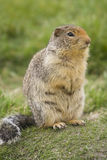 Columbian Ground Squirrel with bushy tail. On a meadow Stock Image