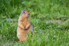 Columbian Ground Squirrel. In a grassy field Royalty Free Stock Images