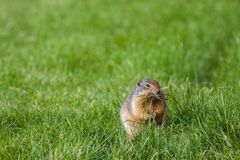 Columbian Ground Squirrel. In a grassy field Stock Photos