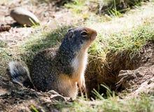 Columbian ground squirrel stock image