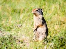 Columbian ground squirrel royalty free stock image