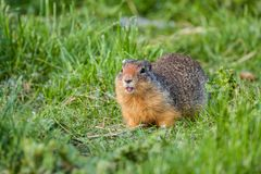 Columbian Ground Squirrel. In a grassy field Stock Image