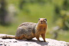 Columbian Ground Squirrel Royalty Free Stock Photography