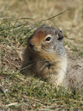 Columbian Ground Squirrel Peering out of its Burrow - Banff, Can royalty free stock image