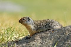Columbian Ground Squirrel on a Rock Stock Photo