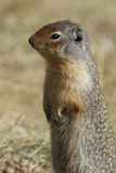 Columbian Ground Squirrel Scouting its Territory - Alberta, Cana Stock Images