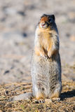Columbian ground squirrel (Spermophilus columbianus) Royalty Free Stock Images