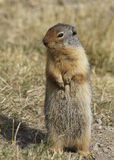 Columbian Ground Squirrel standing on its hind legs Stock Photos