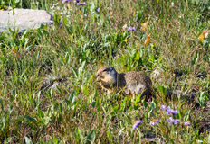 Columbian Ground Squirrel  (Urocitellus columbianus) in an alpin Royalty Free Stock Images