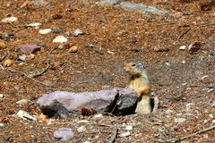 Columbian ground squirrel Urocitellus columbianus. Peaks out of its hole at Glacier National Park stock image