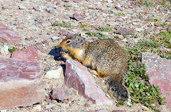 Columbian Ground Squirrel  (Urocitellus columbianus)  in Glacier Royalty Free Stock Photo