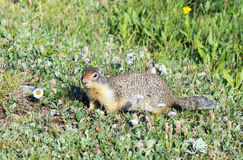 Columbian Ground Squirrel (Urocitellus columbianus) in Glacier royalty free stock photography