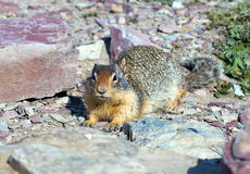 Columbian Ground Squirrel  (Urocitellus columbianus)  in Glacier Stock Photos