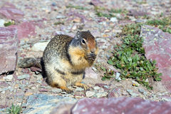 Columbian Ground Squirrel  (Urocitellus columbianus)  in Glacier Royalty Free Stock Image