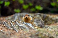 Columbian ground squirrel Urocitellus columbianus in Glacier National Park, Rogers Pass area stock photography