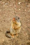 Columbian ground squirrel Urocitellus columbianus looking around royalty free stock photos