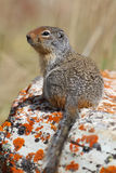 Columbian Ground Squirrel - Waterton Lakes National Park Royalty Free Stock Photography