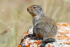 Columbian Ground Squirrel - Waterton Lakes National Park Royalty Free Stock Images