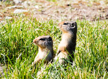 Columbian ground squirrels stock photography