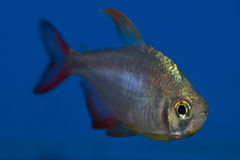 Columbian Tetra. Hyphessobrycon colimbianus or the Red/Blue Columbian Tetra gets its name from its bright red tail, and its reflective body Royalty Free Stock Image
