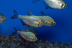 Columbian Tetra school. Hyphessobrycon colimbianus or the Red/Blue Columbian Tetra gets its name from its bright red tail, and its reflective body Stock Photo