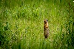 Columbian zmielona wiewiórka Zdjęcia Stock