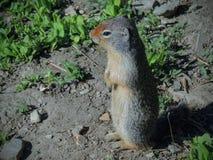 Columbianus colombiano di Urocitellus dello scoiattolo a terra che esamina il sole di mattina in Glacier National Park fotografie stock