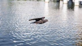 Columbidae Fotografering för Bildbyråer