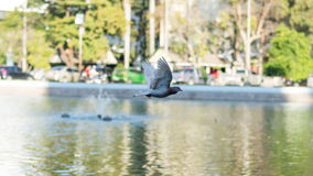 Columbidae Stock Photography