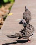 Columbidae nehmen auf dem Boden ein Sonnenbad Stockfotografie