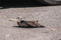 Columbidae nehmen auf dem Boden ein Sonnenbad Lizenzfreie Stockfotografie