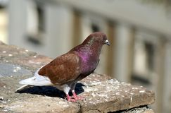 Columbidae. Pigeon.  dove Stock Image