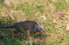 Columbidae sunbathe on the floor Royalty Free Stock Photography