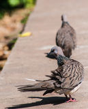 Columbidae sunbathe on the floor Stock Photography