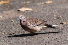 Columbidaevogel nehmen auf dem Boden ein Sonnenbad stockfoto