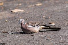 Columbidaevogel nehmen auf dem Boden ein Sonnenbad Lizenzfreie Stockbilder