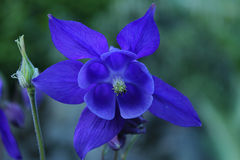 Columbina flower in mountain. A columbina aquilegia flower in mountain Royalty Free Stock Photo