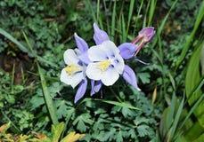 Columbine, κρατικό λουλούδι του Κολοράντο Στοκ Φωτογραφίες