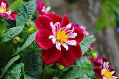 Columbine λουλουδιών Στοκ εικόνα με δικαίωμα ελεύθερης χρήσης