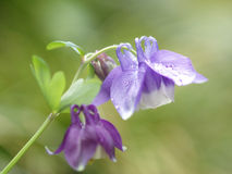 Columbine-0010 Images stock