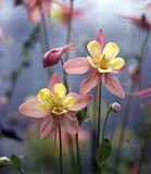 Columbine Royalty Free Stock Photo